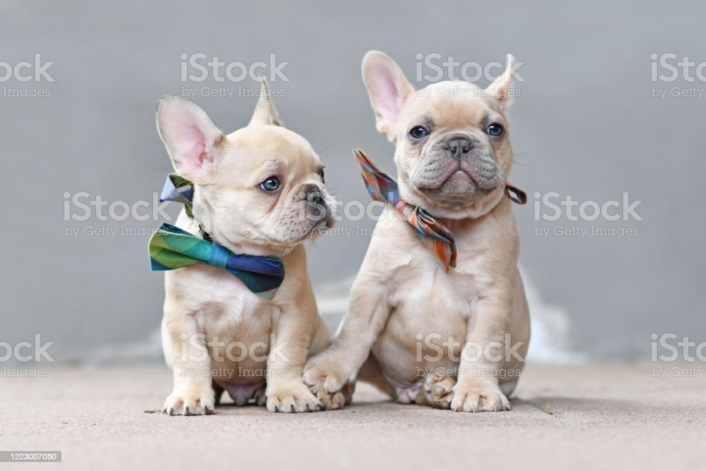 Pair Of Cute Lilac Fawn Colored French Bulldog Dog Puppies Wearing Bow Ties While Appearing To Hold Hands Sitting Together In Front Of Gray Wall Stock Photo Download Image Now Istock