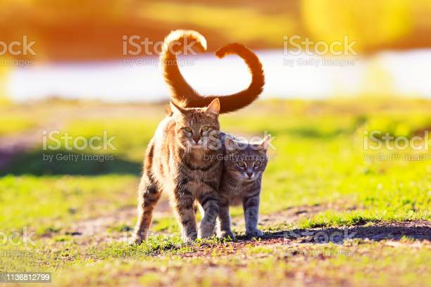 Pair of cute lovers striped cat walking on a sunny path in a warm picture id1136812799?b=1&k=6&m=1136812799&s=612x612&h=5liq3aod lh7ojj3y4ahkqcnhigxapftfxdstlakjro=