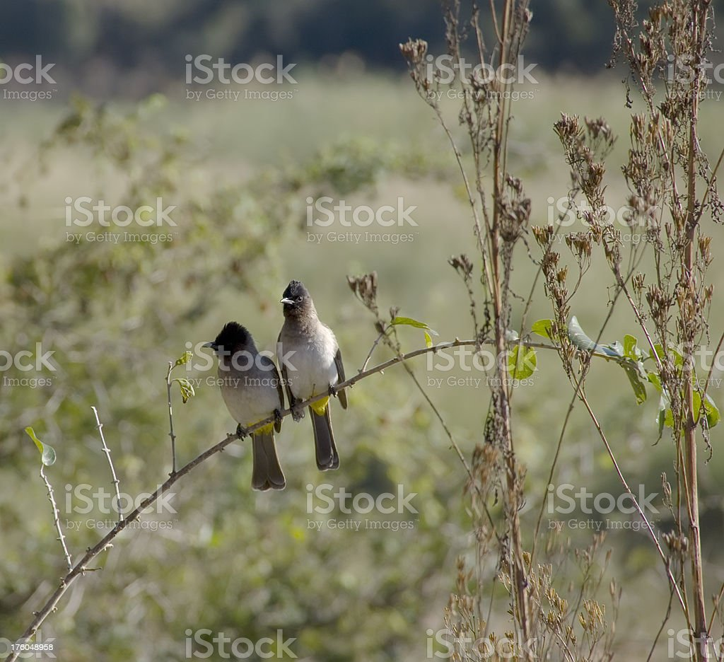 Pair of Dark-Capped Bulbul (Pycnonotus tricolor) on Branch royalty-free stock photo