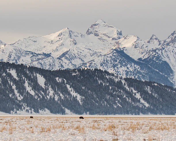 Pair of Distant Winter Bison,Tetons stock photo