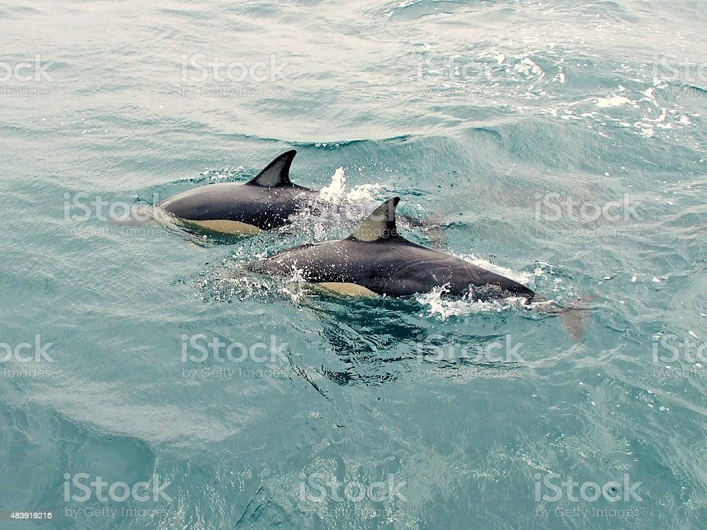 Pair of dolphins swimming in the sea stock photo