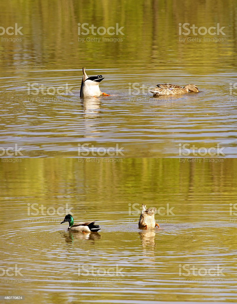 Pair of ducks dunk together stock photo
