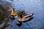A male and female duck pair swimming on the local Norfolk Broad.