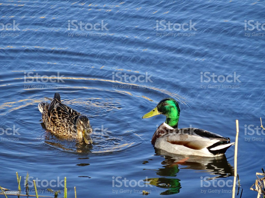 Pair of ducks swim in beautiful evening light stock photo