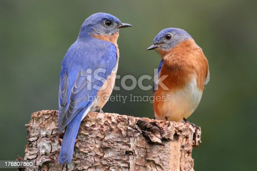 Pair of Eastern Bluebird (Sialia sialis) on a log with nesting materialMy Other Popular Bluebird Photos: