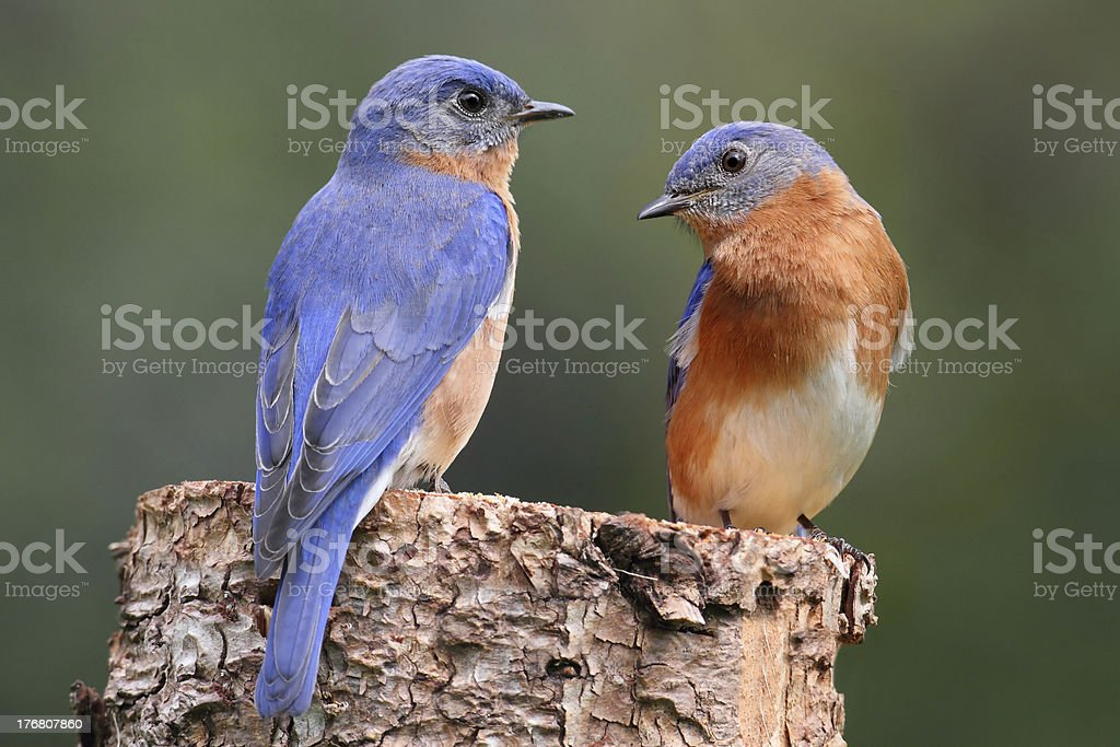 Pair of Eastern Bluebird stock photo