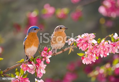 Eastern Bluebird Couple, male and female, perching on flowering spring branch