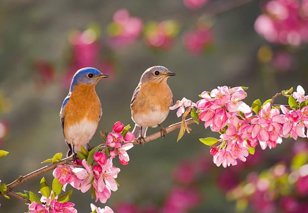 paire de eastern bluebirds - oiseau chanteur photos et images de collection