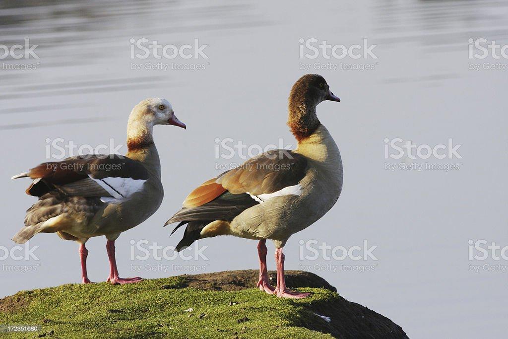 Par de gansos egipcio Alopochen aegyptiacus posterior en alisándose las plumas foto de stock libre de derechos