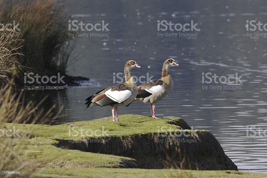 Synchronised pair of Egyptian geese Alopochen aegyptiacus at preening post stock photo