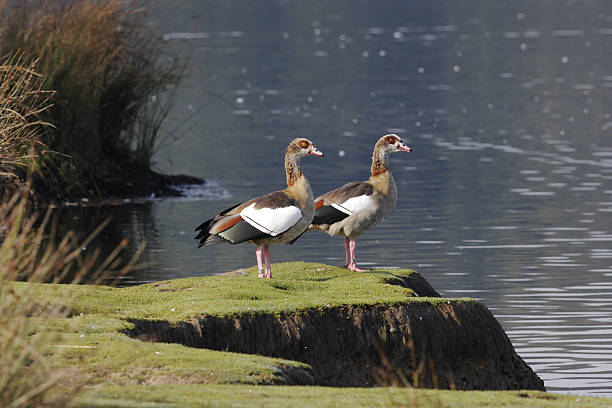 synchronised pair of egyptian geese alopochen aegyptiacus at preening post - richmond park stock photos and pictures