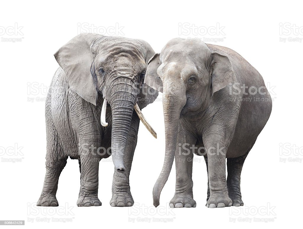 Pair of elephants isolated on white background stock photo