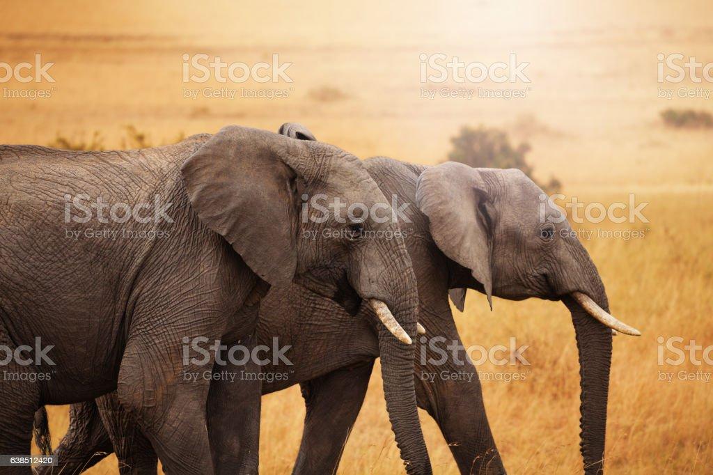 Pair of elephants walking together in savannah stock photo