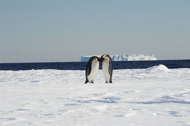 Pair of Emperor Penguins A pair of Emperor Penguins stand together with a large tabular iceberg in the background emperor penguin stock pictures, royalty-free photos & images