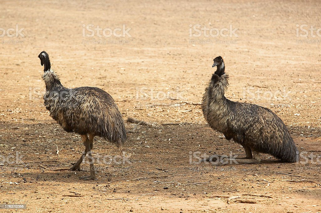 Pair of Emus resting royalty-free stock photo
