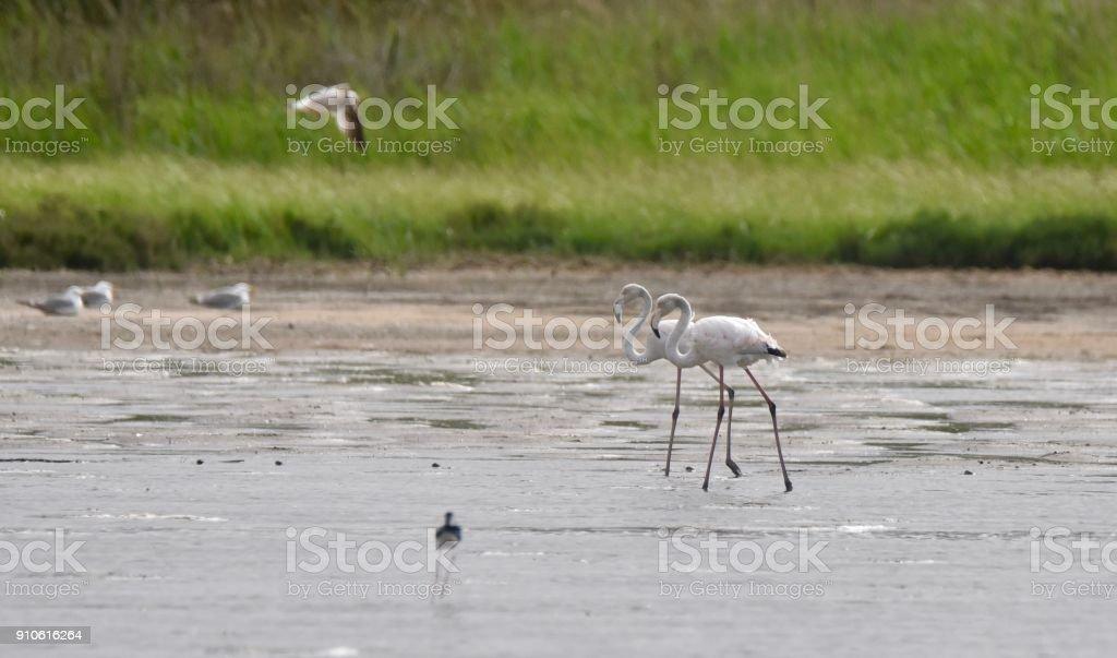 A pair of flamingos on Lake Korission stock photo