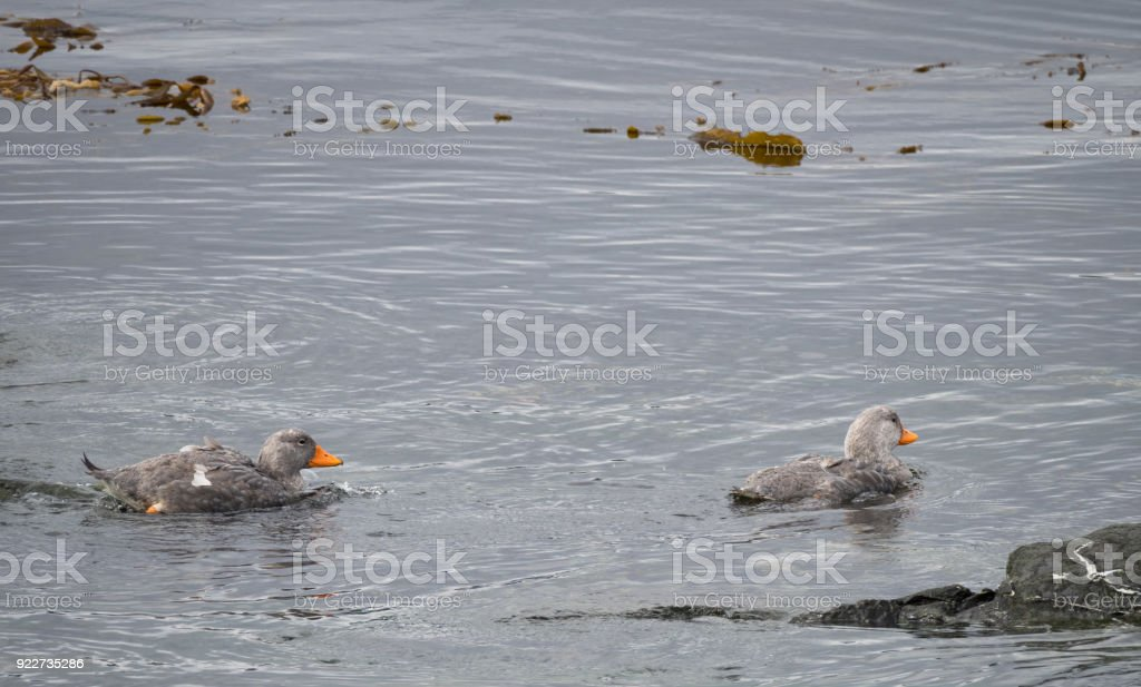 Pair of Flightless Steamer Ducks Swimming in the Beagle Channel stock photo