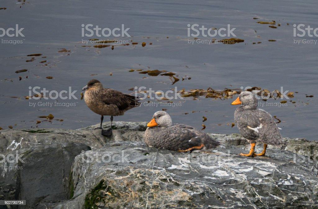 Pair of Flightless Steamer Ducksa stock photo