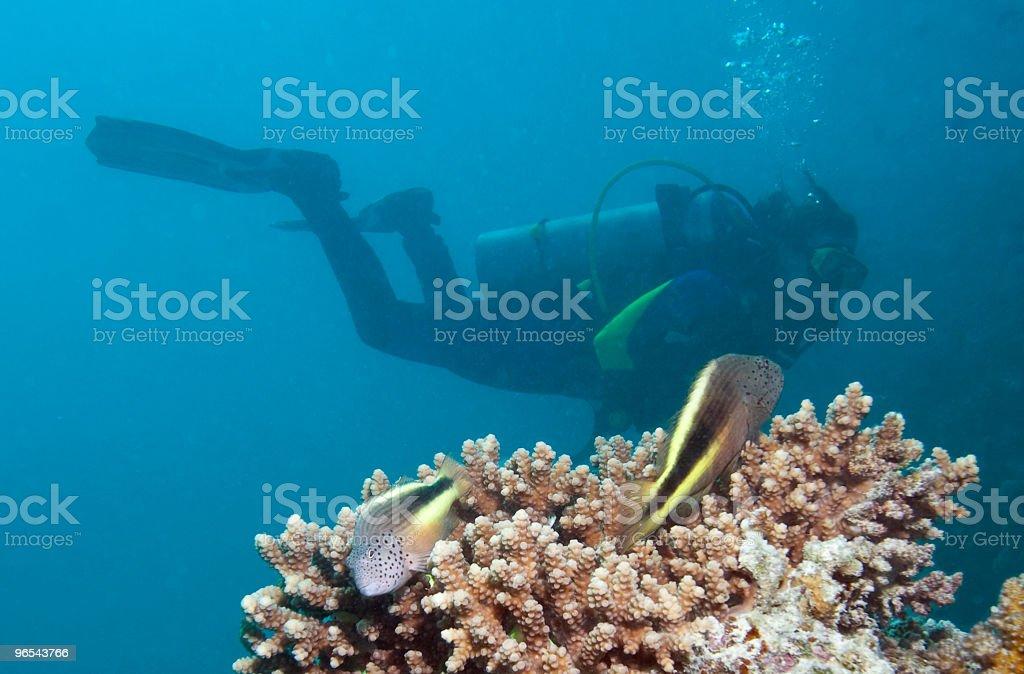 Par de Freckled Pinnulatus e um mergulhador - Foto de stock de Azul royalty-free