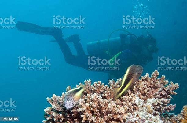 Foto de Par De Freckled Pinnulatus E Um Mergulhador e mais fotos de stock de Azul
