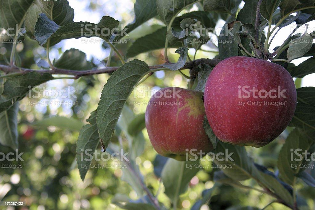 Pair of fresh apples stock photo