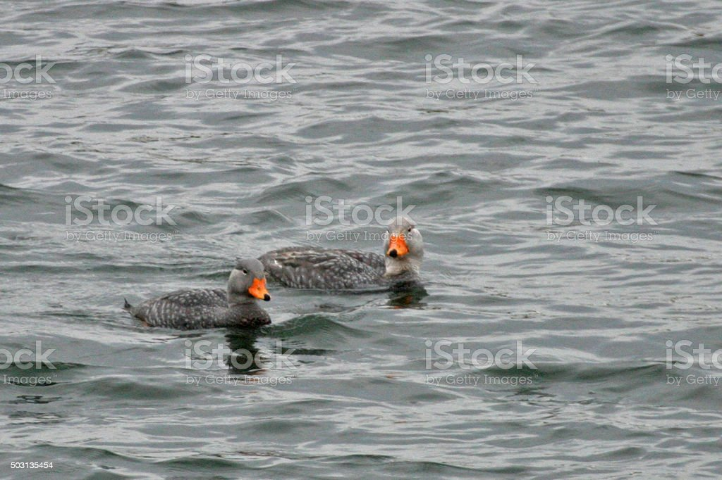 Pair of Fuegian Steamer Duck, Tachyeres pteneres, swimming stock photo