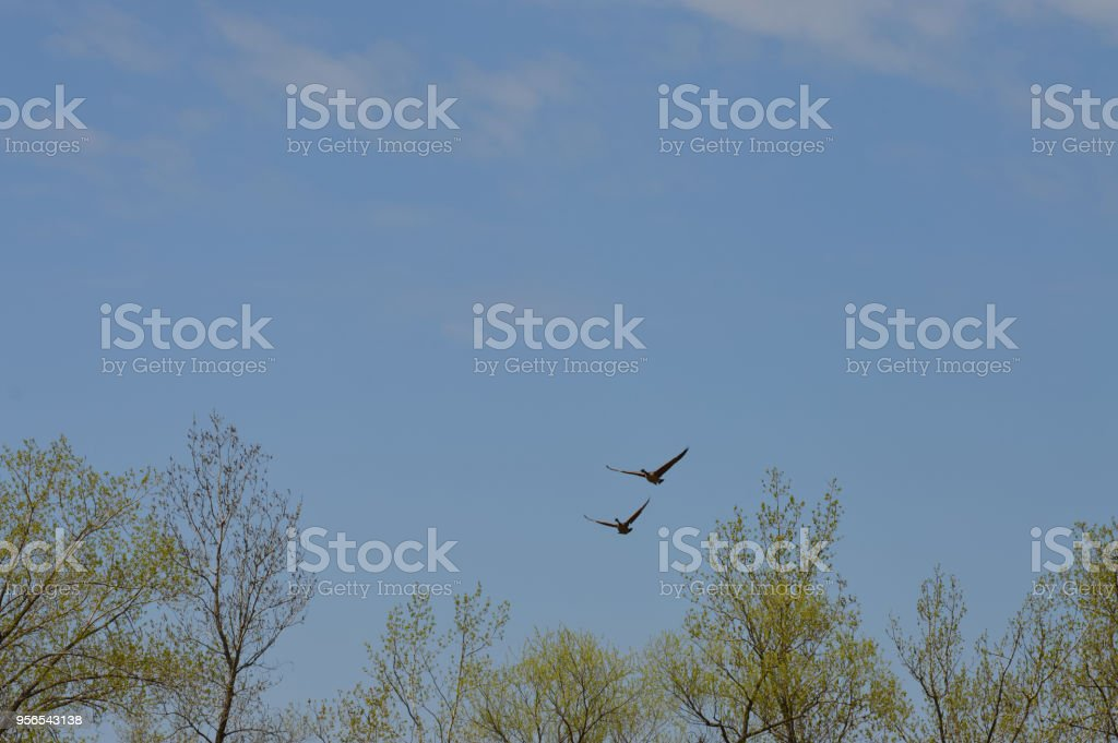 Paar der Gänse - Lizenzfrei Feuchtgebiet Stock-Foto