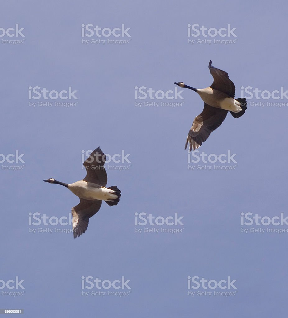 Pair of Geese Overhead royalty-free stock photo