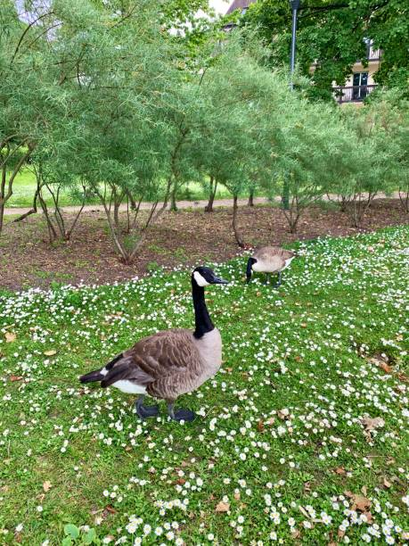 A pair of geese. stock photo