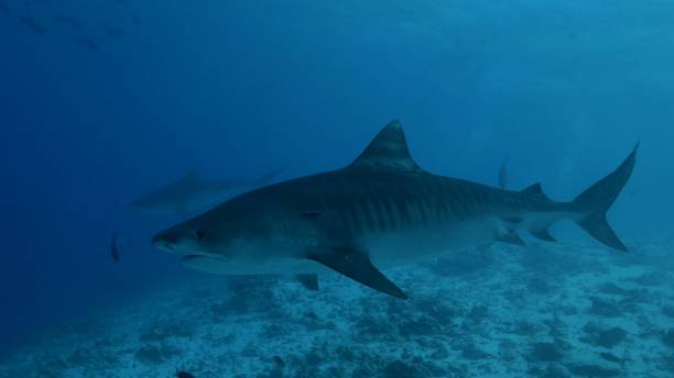 Pair of giant Tiger sharks swimming at undersea sand in South Maldives stock photo