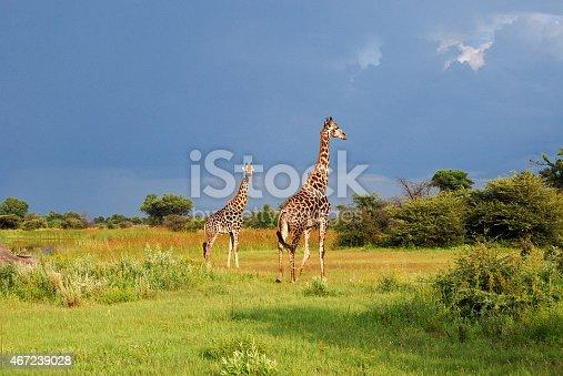 A Pair of giraffes (Giraffa camelopardalis) in the Okavango Delta, Botswana