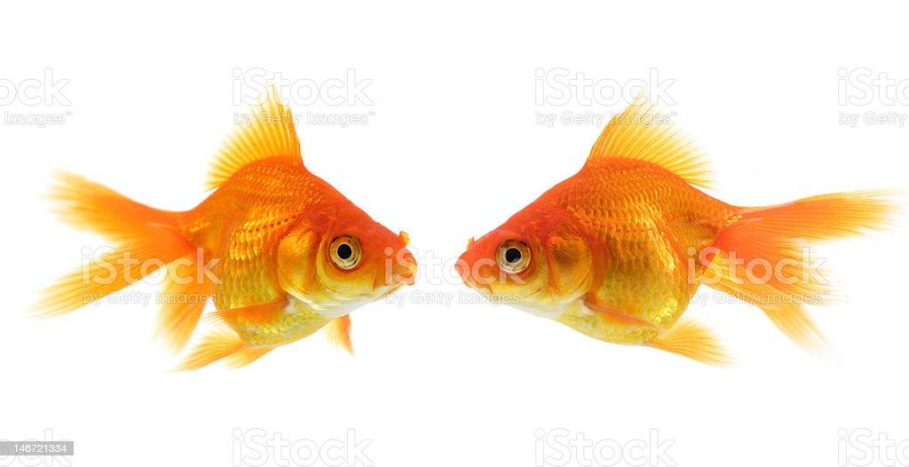 Pair of goldfish royalty-free stock photo