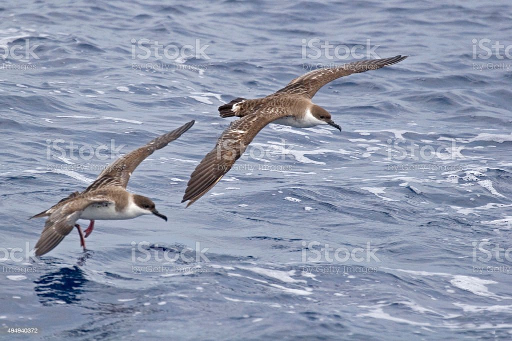 Pair of Great Shearwater, Ardenna gravis in flight stock photo