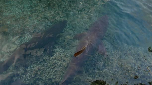 Pair of grey nurse sharks (Carcharias taurus) swimming at Futami fishing port in Ogasawara Island stock photo