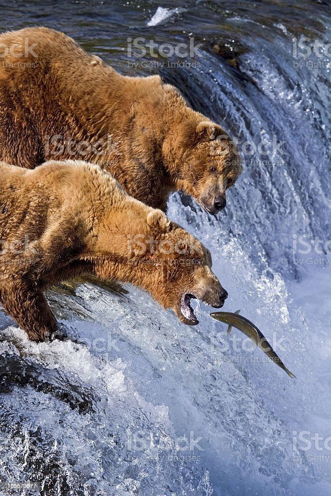 A pair of grizzlies catching fish in Alaska stock photo