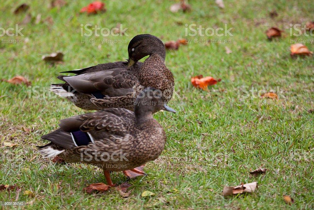 Pair of Hawaiian Duck or Koloa, Anas wyvilliana stock photo