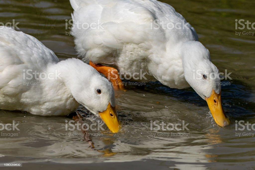 Pair of heavy white Long Island Pekin Ducks searching for food stock photo