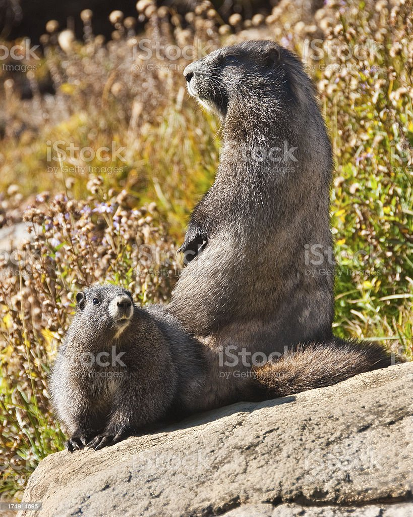 Pair of Hoary Marmots Sitting on a Rock royalty-free stock photo