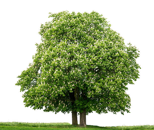 Pair of Horse Chestnut trees (Aesculus hippocastanum) in bloom, isolated_on_white. stock photo
