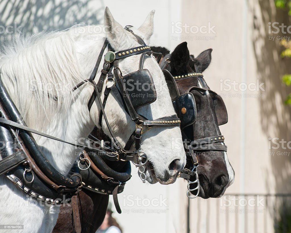 Pair of horse heads stock photo