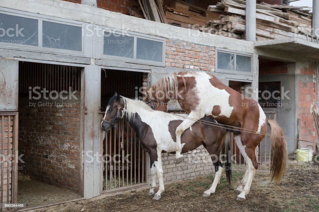 Pair of horses in front of ranch stable ready for mating stock photo