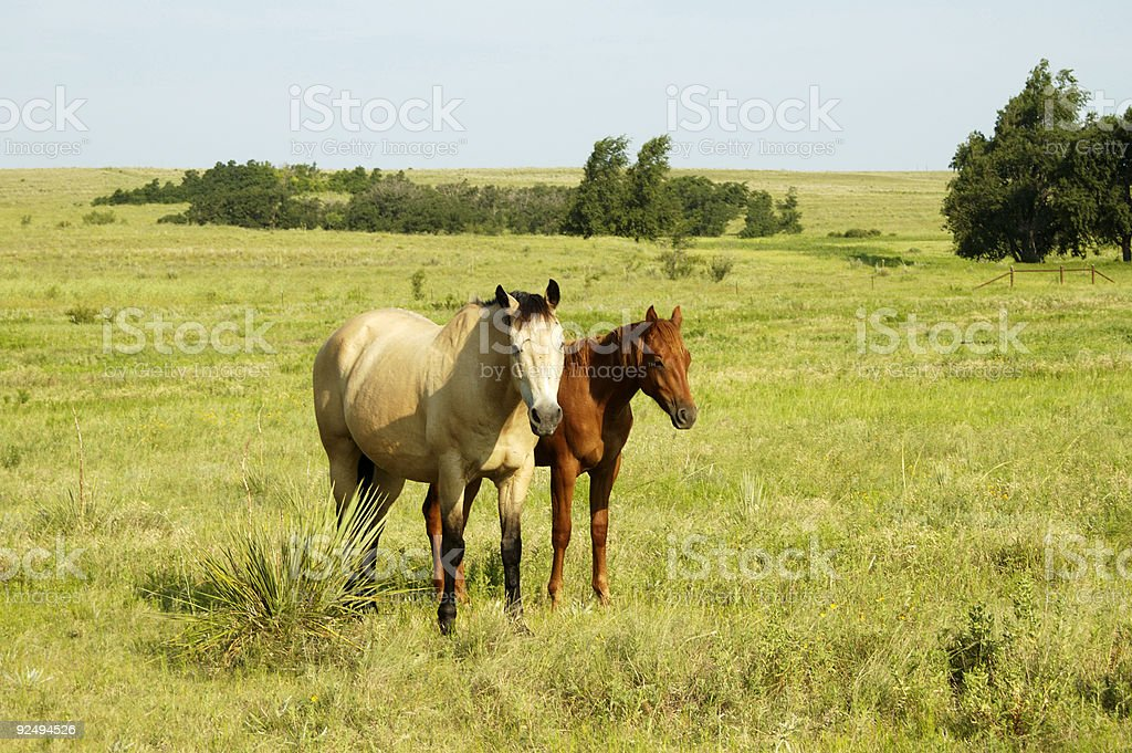 Pair of horses in the pasture. royalty-free stock photo