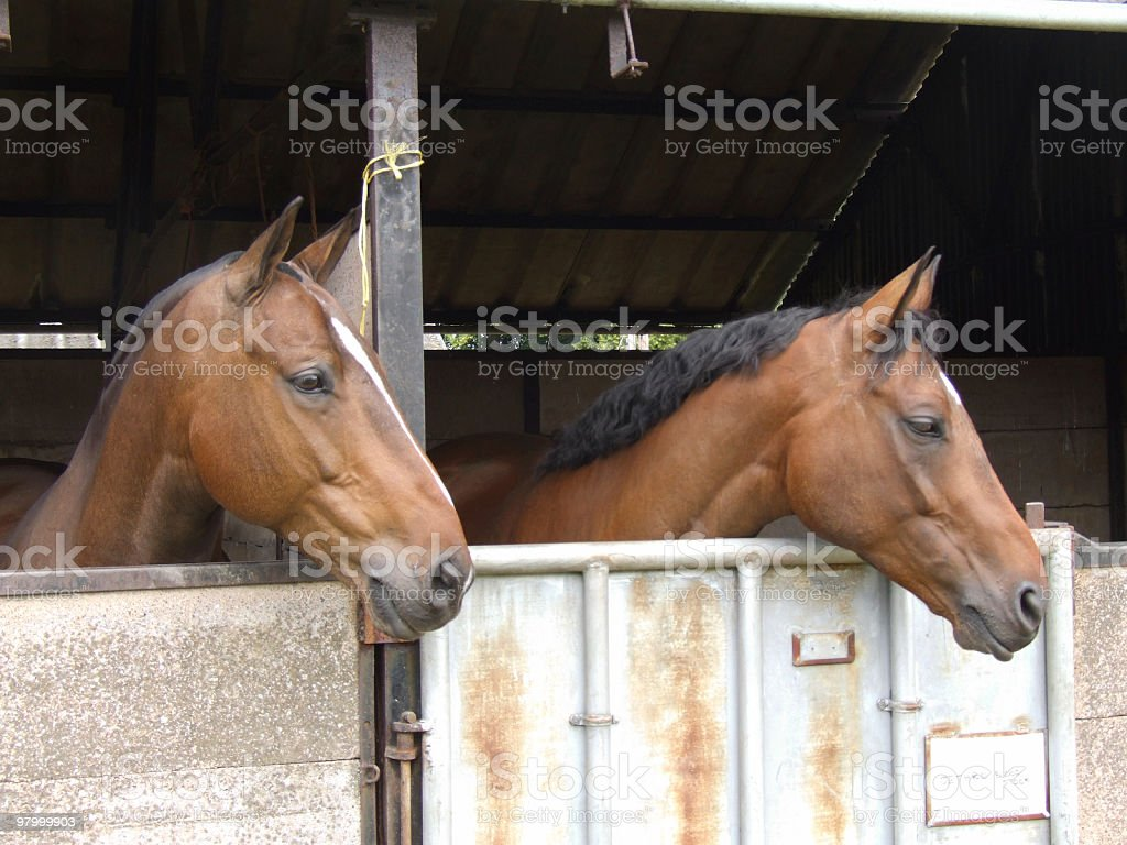 Pair of Horses royalty-free stock photo