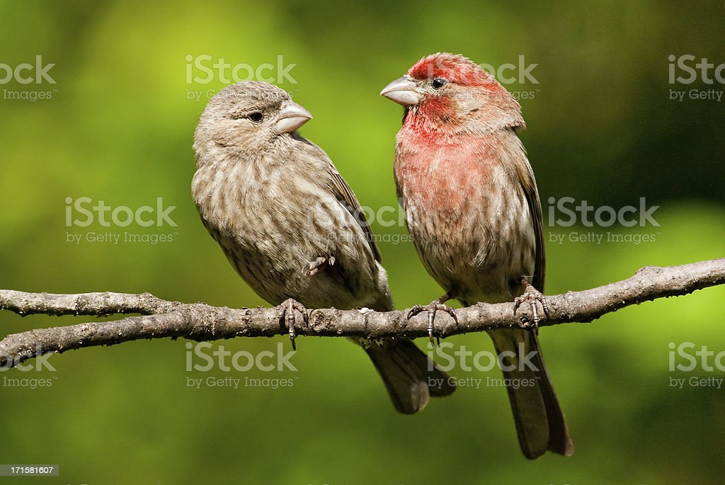 Pair of House Finches in a Tree stock photo