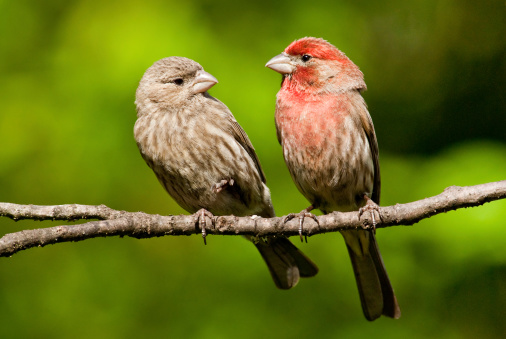 Pair Of House Finches In A Tree Stock Photo - Download Image Now