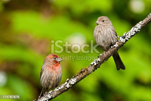 The House Finch (Haemorhous Mexicanus) is a year-round resident of North America and the Hawaiian Islands. Male coloration varies in intensity with availability of the berries and fruits in its diet. As a result, the colors range from pale straw-yellow through bright orange to deep red. Adult females have brown upperparts and streaked underparts. This mating pair was photographed in Edgewood, Washington State, USA.