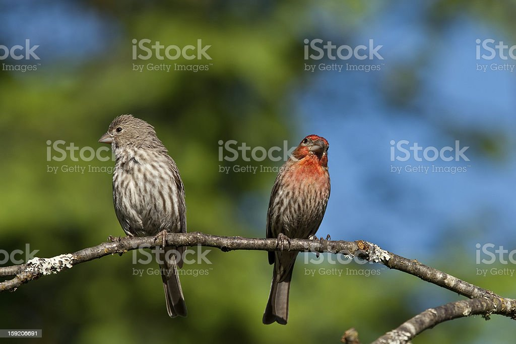 Pair of House Finches on a Branch royalty-free stock photo
