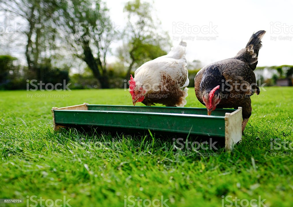 Pair of hungry hens eating from a feeder stock photo