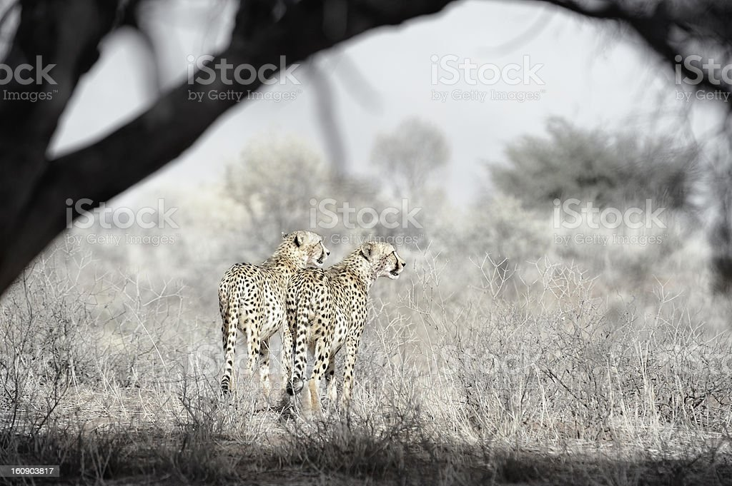 Pair Of Hunting Cheetahs Framed By Tree Stock Photo & More Pictures ...