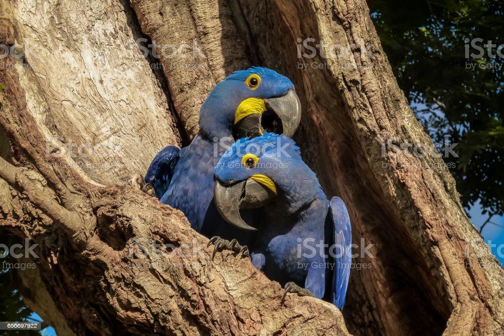 Paar von Hyazinth-Aras schmiegen sich zusammen in eine Baumhöhle – Foto
